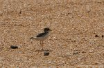 Thick-billed plover