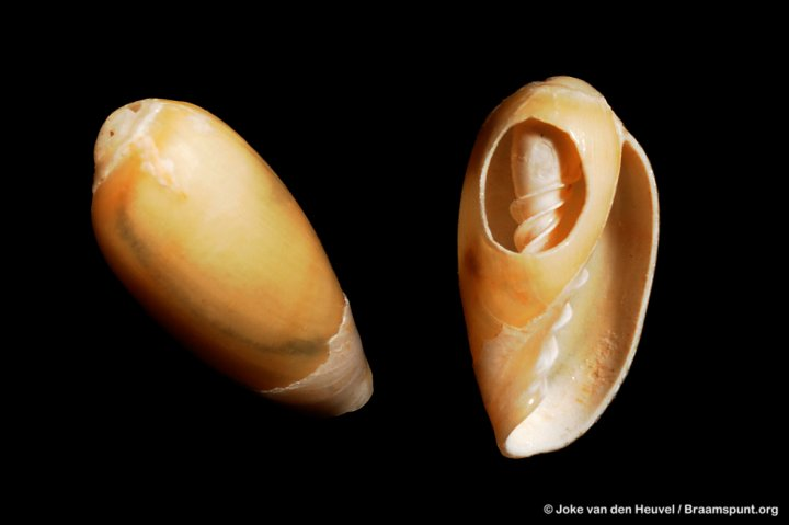 Marginella prunum